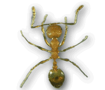 picture of pharaoh ant