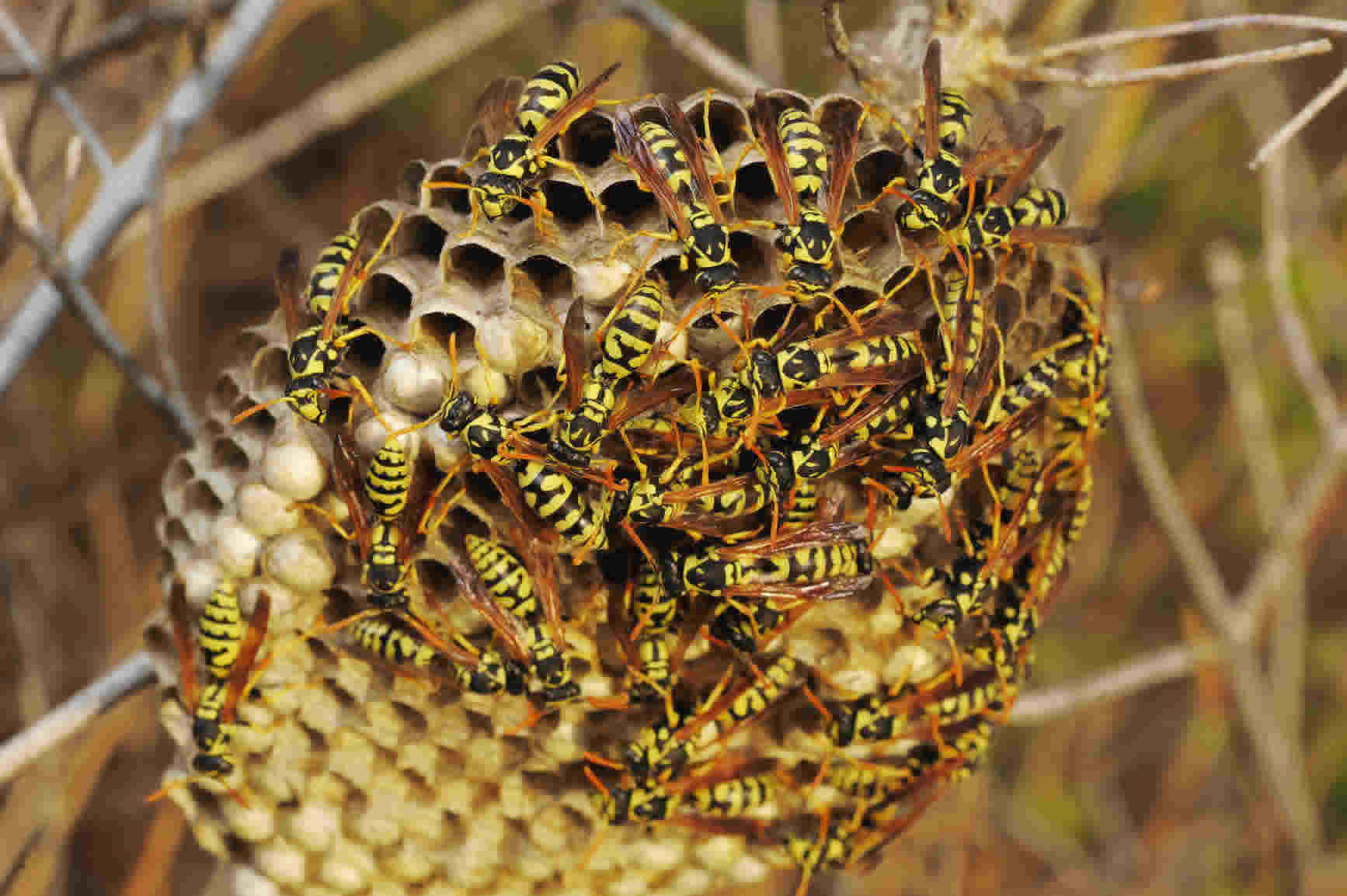 wasp nest picture